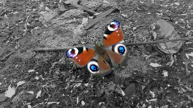 Schmetterling bunt auf grau